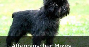 Affenpinscher Mixes - picture