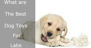 Best chew toys for Labs - picture