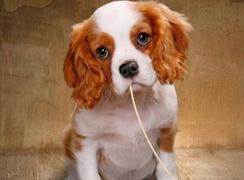 Can dogs eat spaghetti - picture
