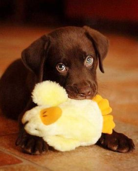 Lab puppy with toy - picture