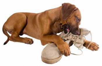 dog chewing shoe - picture