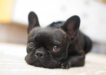 French Bulldog Grooming - picture
