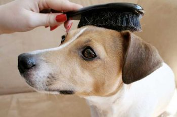 How to brush your short haired dog - picture