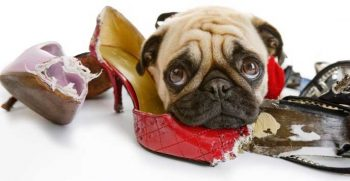 Pug chewing shoes - picture