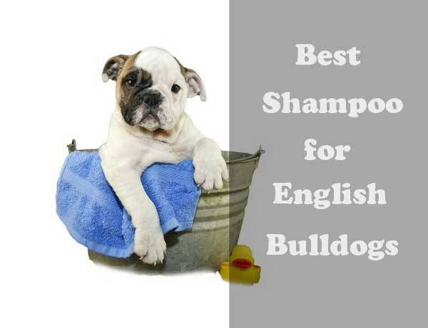 Best shampoo for English Bulldogs - picture