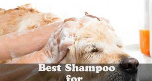 Best shampoo for Golden Retrievers - picture