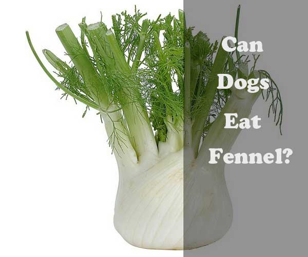 Can dogs eat fennel - picture