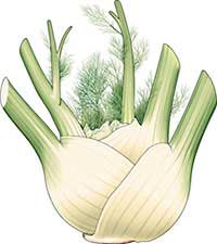 Fennel bulb picture