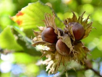 Are hazelnuts bad for dogs - picture
