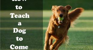 How to teach a dog to come
