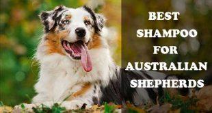 Best shampoo for Australian shepherds - picture