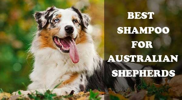 Best shampoo for Australian shepherds - picture