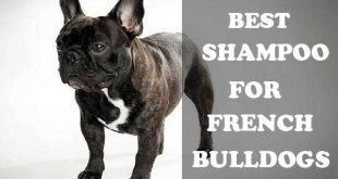 Best shampoo for French Bulldogs - picture