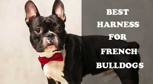 Best harness for French Bulldogs - picture