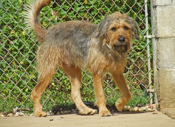 Lab'Aire (Airedale Terrier Labrador Retriever mix) - picture