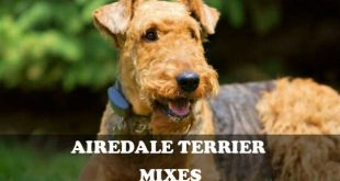 Airedale Terrier mixes - picture