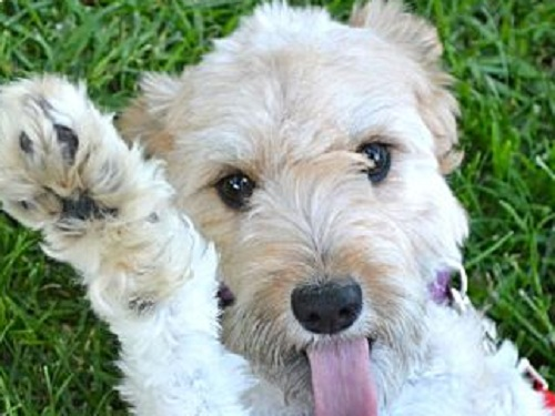 Airedoodle (Airedale Terrier Poodle mix) - picture