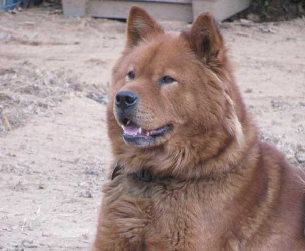 Akita Chow (Akita Chow Chow Mix) - picture