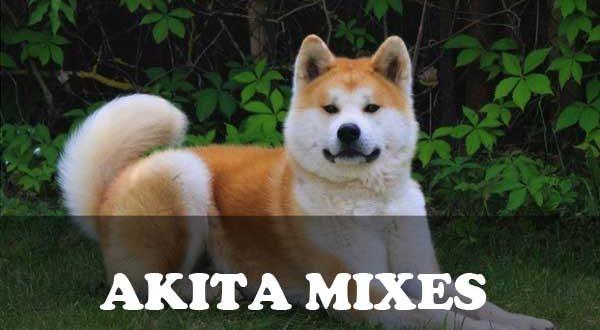 Akita Mixes - picture
