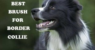 Best brush for Border Collies - picture