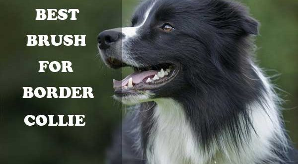 Best Dog Food For Rough Collie