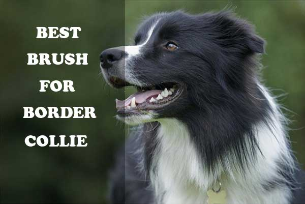 Are Border Collies Good With Other Dogs