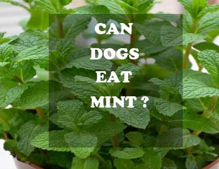 Can dogs eat mint? - picture