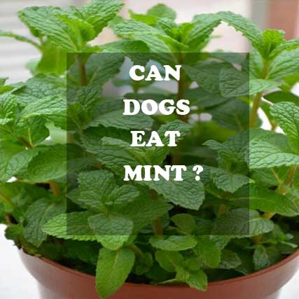 can dogs have mint