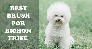 Best Brush for Bichon frise - picture
