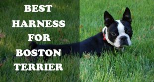 Best Harness for Boston Terriers - picture