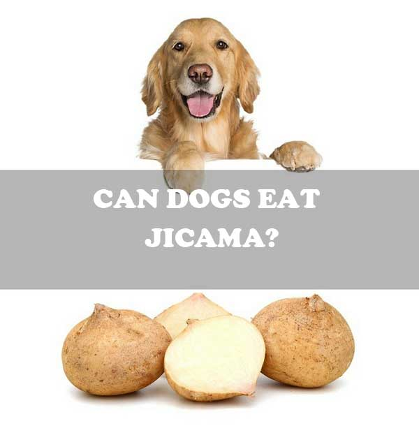 Can dogs eat jicama? - picture