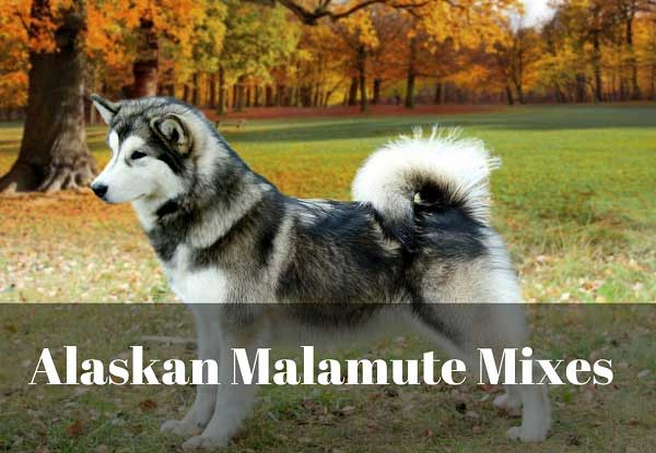 Alaskan Malamute Mixes - picture
