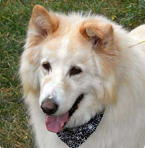 Alaskan Malamute Mix Breeds