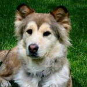 Alaskan Malamute - Border terrier - mix - picture