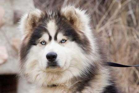 Alaskan Malamute - Husky mix - picture