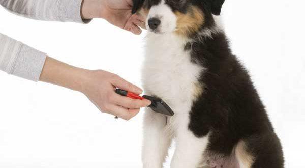 Australian Shepherd Grooming - picture