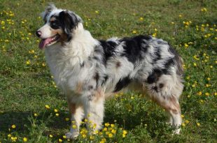 Australian shepherd price - picture