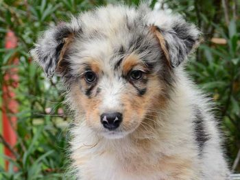Australian shepherd puppy price - picture