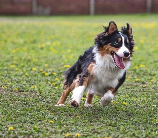 How much does an Australian shepherd cost - picture